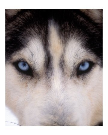 Love huskies blue eyes so beautiful.: Dogs, Siberian Husky, Animal Eye, Blue Eye, Wolves, Wolf Eye, Beautiful Eye, The Secret, Eyes