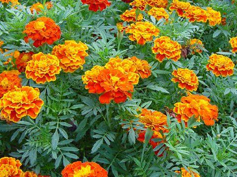 25 melhores imagens sobre plantas no pinterest lima - Plantas para ahuyentar insectos ...
