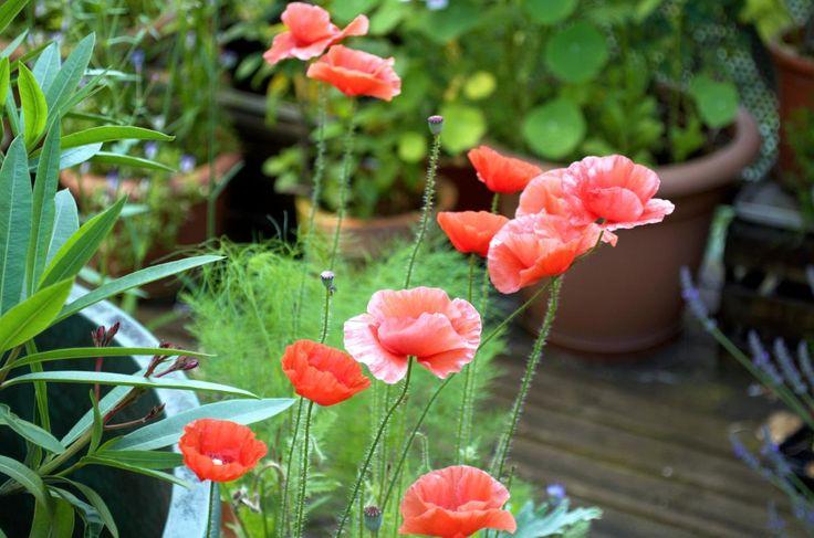 Klatschmohn ist eine robuste einjährige Blühpflanze. Am besten man mischt die feinen Samen mit etwas Sand und verstreut sie dann erst in den Töpfen.