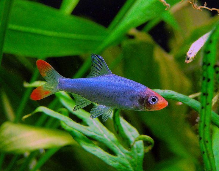 Best 25 freshwater fish ideas on pinterest tropical for Best freshwater aquarium fish