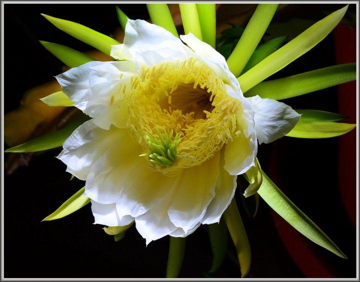 CEREUS: COLTIVARE, VARIETA', MOLTIPLICAZIONE, CONSIGLI. Genere di 50 specie di piante perenni, da serra e da appartamento. Queste cactacee colonnari hanno fusti cilindrici, che si ramificano in alto negli esemplari adulti. In natura alcune specie di questo genere raggiungono l'altezza di 8-10 m e più. Sono piante facili da coltivare... CONTINUA A LEGGERE: http://tuttosulgiardino.it/cereus-coltivare-varieta-moltiplicazione-consigli/ ( #piante #fiori #piantegrasse #giardino #giardinaggio )