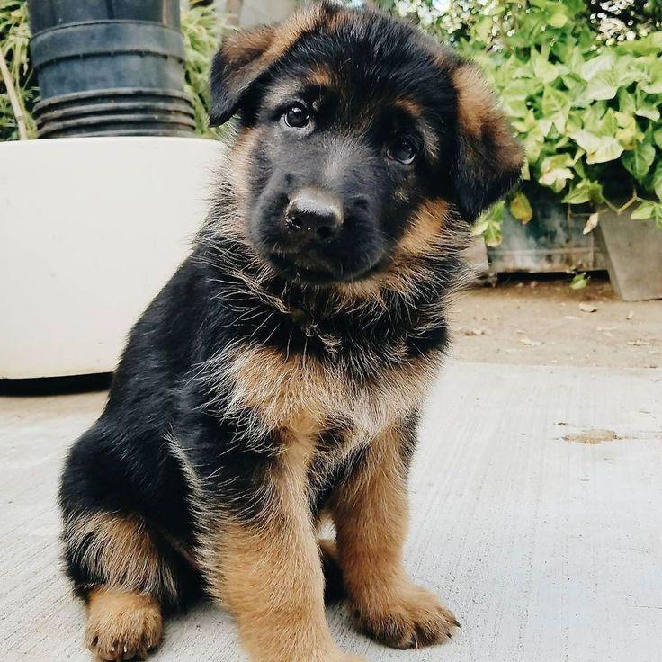 GSD Puppy-Buddy