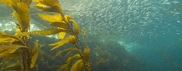 What lives in a #kelp forest  http://buff.ly/2oWtQJP #ecology