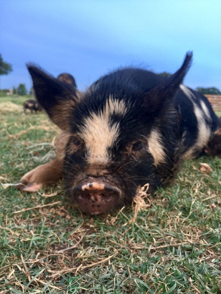 Ham Solo contemplating life with 21 piglets! #kunekune #imyourfather