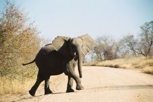 The African Elephant is also being pushed into extinction. Known as the largest living land animal, it has a sloping head, and larger ears and tusks compared to its Asian counterpart.    The African Elephant, which can easily consume up to 225 kilograms of fruit, grass, and leaves in a day, is divided into two subspecies: The African Bush Elephant (Loxodonta africana), and the African Forest Elephant (Loxodonta cyclotis).