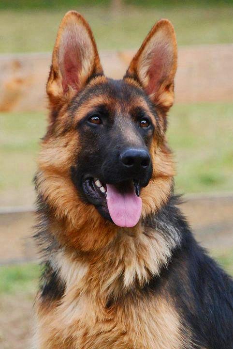 German Shepherd Puppy Nando vom Grunwald Haus