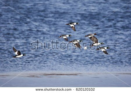 Stock Photo: Migrating flock of golden eye ducks flying above the water in spring. -