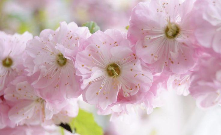 Das Mandelbäumchen zeigt im April und Mai seine hübschen, rosa gefüllten Blüten
