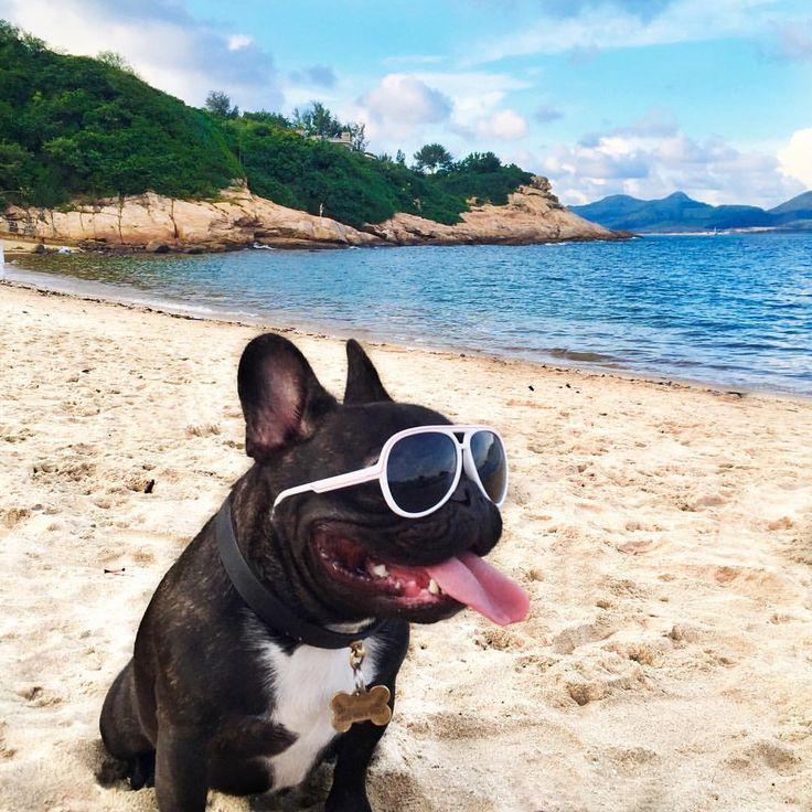 Life's a Beach 😎 French Bulldog Livin' the Dream.