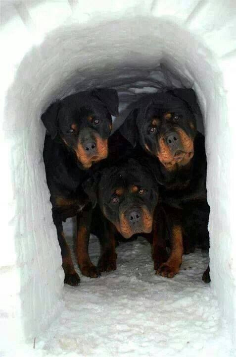 THE MIDDLE ROTTIE LOOKS SO MUCH LIME MINE SERIOUSLY doesn't it French Friez?!