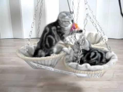 Silvertabby Katzenschaukel 11 01 14