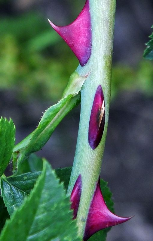 #Rose #stem and #thorns