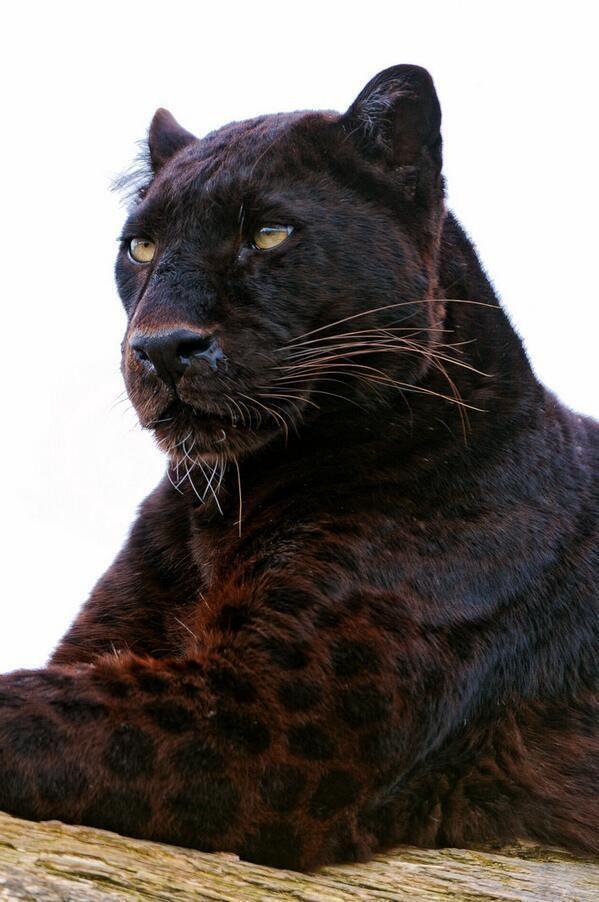 Zwart luipaard