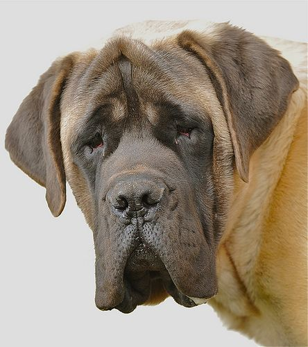 English Mastiff dog - What you call jowls, I call my drool curtains?