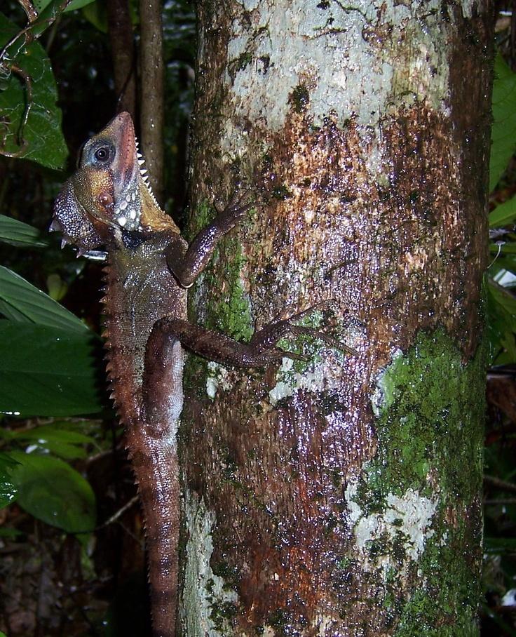 Body's Forest Dragon www.daintreewondertours.com.au