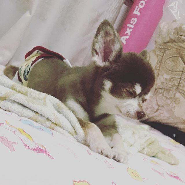 うたた寝を隠し撮り(^_−)−☆ #チワワ#ちわわ#チョコタン#ちょこたん#チョコレートタン#ちょこれーとたん#ロンチー#ろんちー#愛犬#犬スタグラム#いぬすたぐらむ