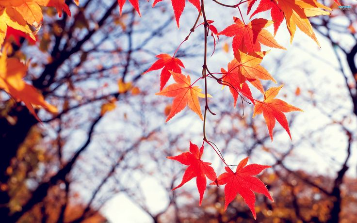 Reddish Fall Leaves HD Wallpaper