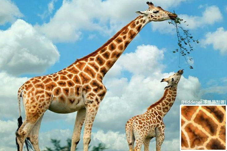 Nubian Giraffe Hiddener 不是熱點遊 Giraffe - griffe für küche