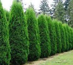 Emerald Green Arborvitae ( Thuja ) -- My main hedges on the N and E of house. Corners I have allowed them to get way tall, cannot climb a ladder to trim anymore.