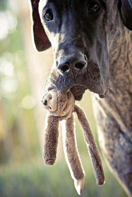 Big dogs need teddy bears too.