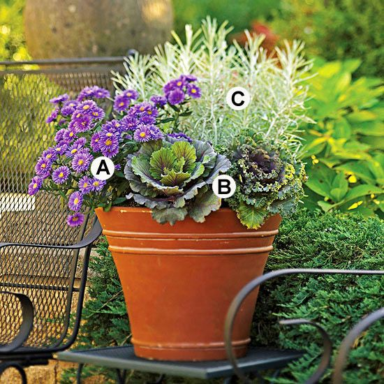 Keep it Cool              Asters and kale are surefire picks for a great fall show, and silvery foliage from 'Icicles' licorice plant is a perfect end-of-the-season accent.    A. Aster (Aster 'Purple  Viking') --- 1  B. Flowering kale(Brassica 'Kamome Red')  --- 2  C. Licorice plant (Helichrysum 'Icicles')  ---2