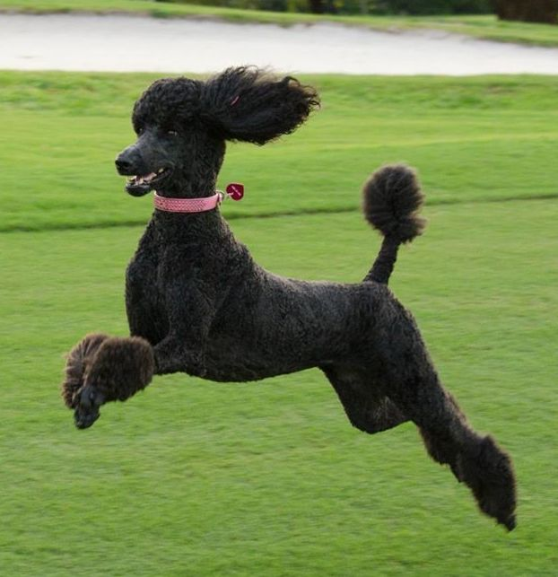 standard poodle as a strong athlete.