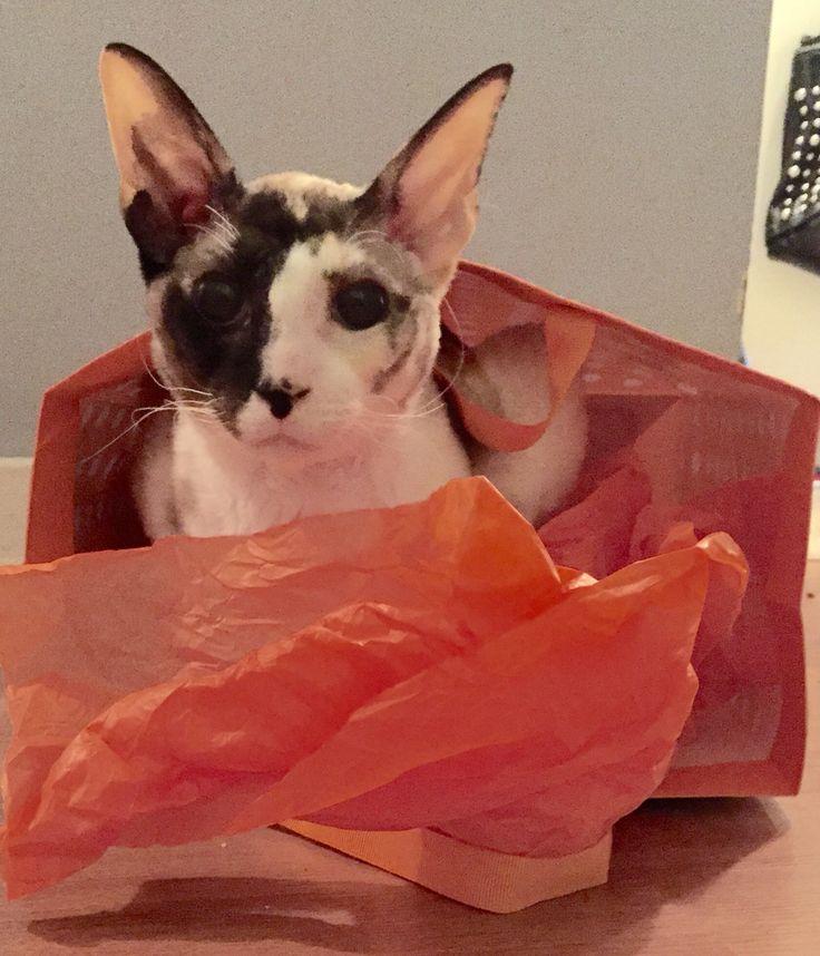 Agnès Rex Cornish Cat