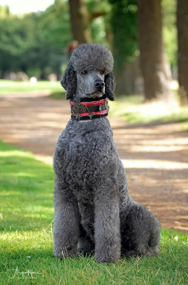 89 best Poodle Grooming Hairstyles images on Pinterest ...