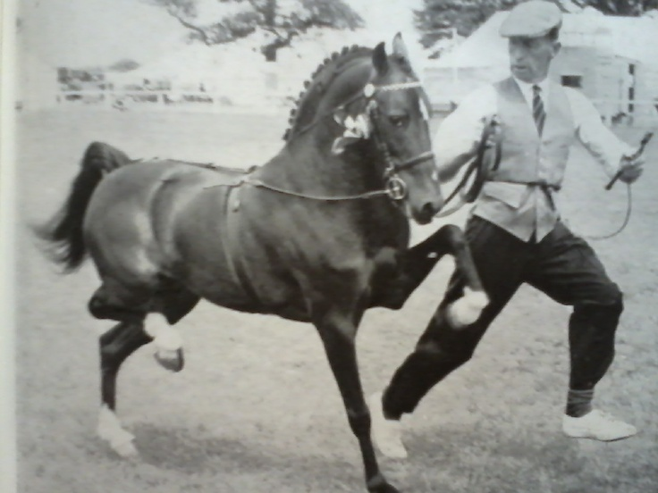 Mardin Finality, Hackney pony stallion