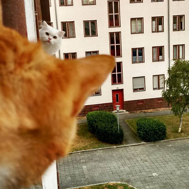"* * WHITE CAT: "" Ya wanna talk; YOO do the cat walk over heres. Der be enuff room on de ledge, and nowz be a good time cuz me humans be gone fer awhiles. Soes makes up thine mind; me can'ts do it fer yoo."""