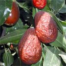 Click to view more information about the Lang Jujube Tree...