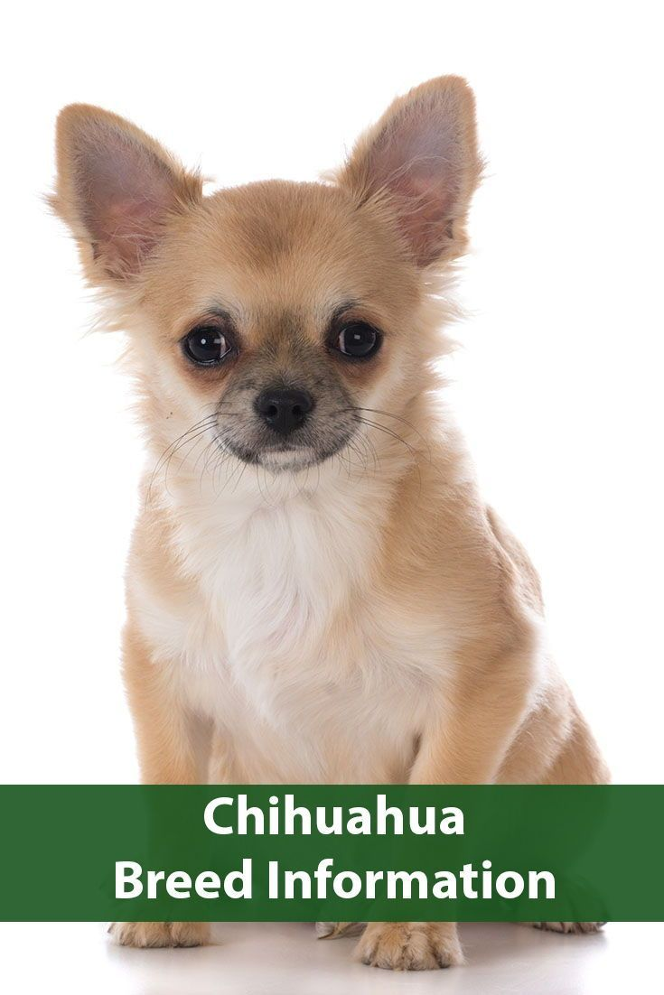 Chihuahua Breed Information Chihuahua Breeds Chihuahua Dog Breeds