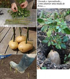Notícias: Como Plantar uma muda de Rosa na batata