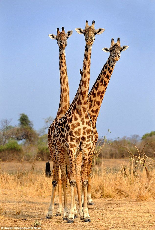 The illusion is actually thanks to good timing as one Rhodesian giraffe stands in front of...