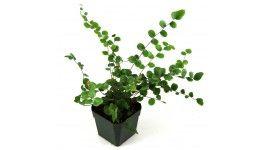 Pellaea rotundifolia 'Button Fern'