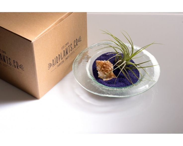Summer Luna: from Airplants.gr #Tillandsia #Ionantha #AirPlant #Terrarium