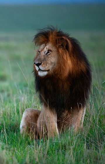 Pride of the Lions... ♥ Cats of the wild / lion photography Animal photos / pictures / king of the jungle #lions