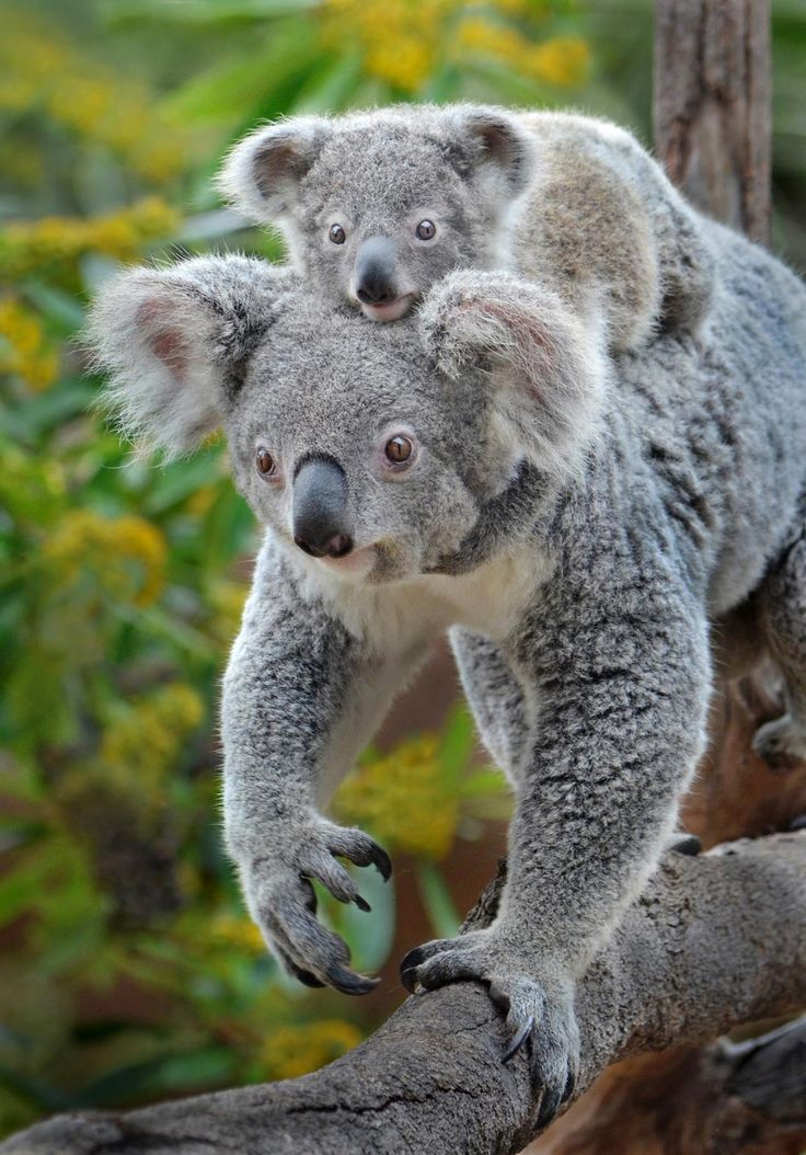 Hitching a ride to Koalafornia by Ion Moe | Maysociety.com