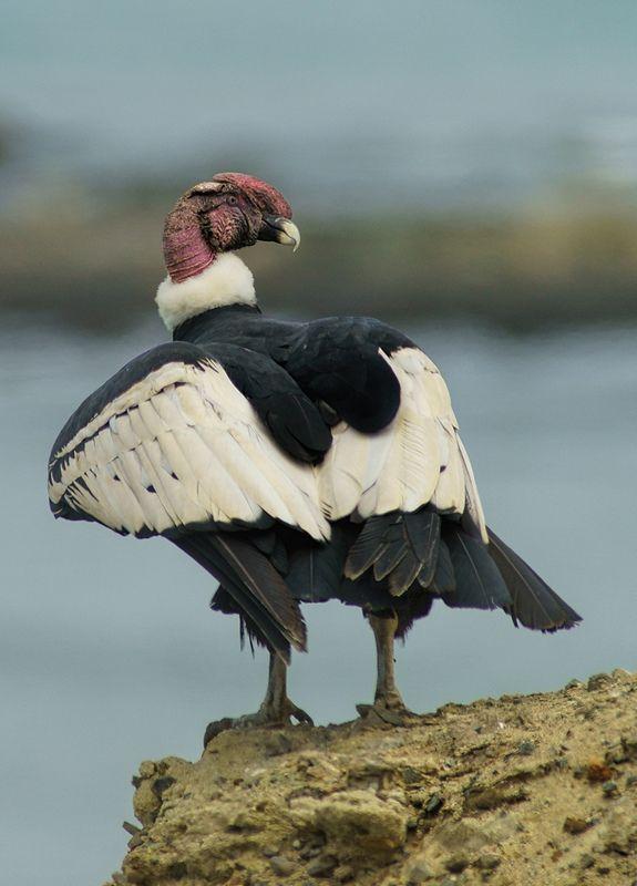Andean Condor (Vultur gryphus) photographed by Carlos Calle at Reserva de San Fernando, Ica, Peru.