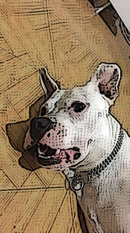 #kayra #pitbull #americanbulldog