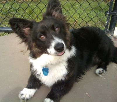 Cardigan Corgi (the one that still has its tail), I love their short little legs and big ears!