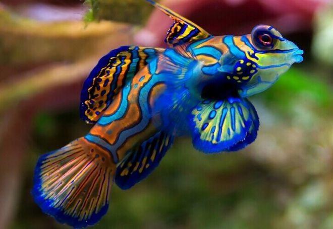 11. Мандариновая рыба