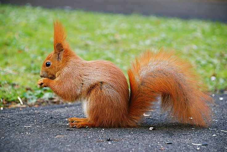 The Red squirrel or Eurasian red squirrel is a tree-squirrel specie found in Eurasia. Description from nerdygaga.com. I searched for this on bing.com/images