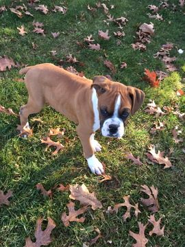 Boxer Puppy For Sale In Hillsville Va Adn 55459 On Puppyfinder