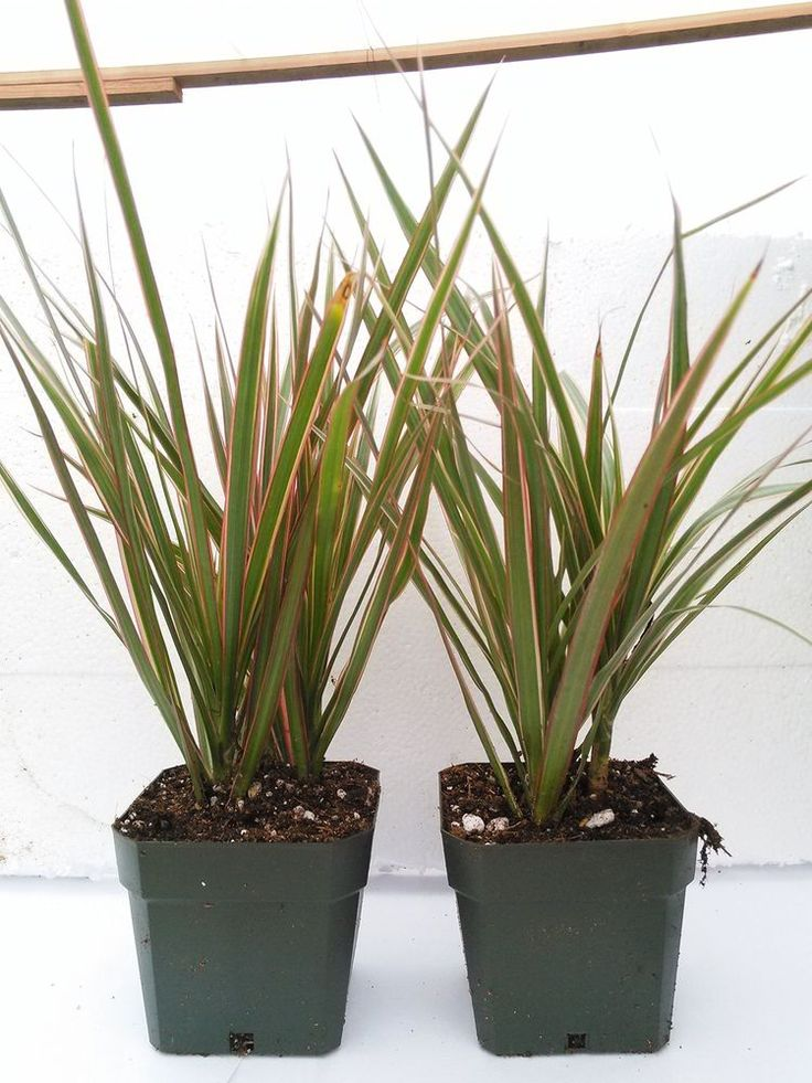 Dragon Tree Houseplant Two Strong Plant Dracaena Marginata Colorama 4''Pot Yard #TwoStrongDracaenaMarginata #Custom