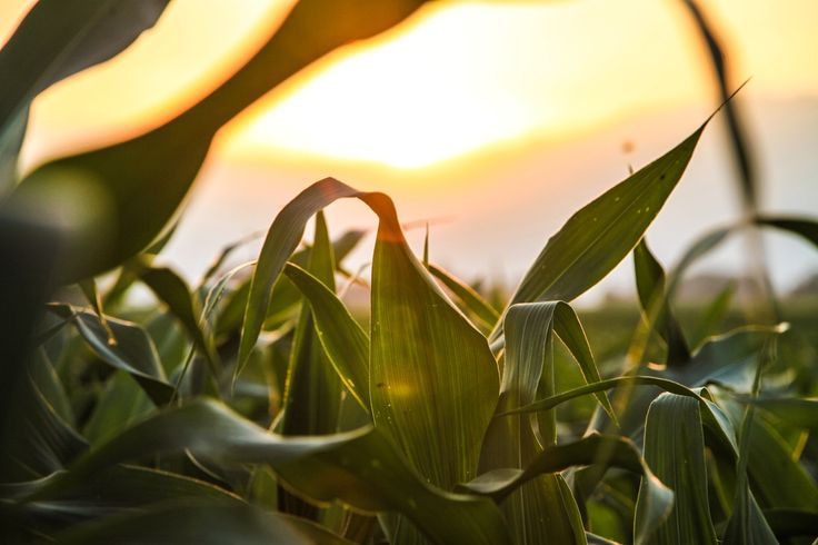 Study: Half of U.S. corn crop could vanish by 2100 due to climate change