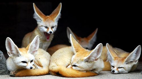The coolest animal I've seen in a long time. On our recent visit to the Bronx Zoo we discovered the Fenec Fox from Africa. Didn't even know it existed. The new inspiration for the upcoming Lovesac winter line, 2012.