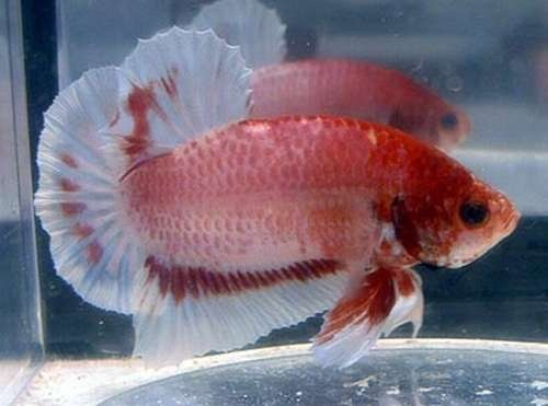 17 best images about betta fish names the many varieties for Beta fish names