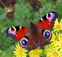 Een tuin waar het lekker windstil is en waar dan nog eens vele vlinderplanten terug te vinden, vormen een echt vlinderparadijs. Als het dan ook nog eens voldoende warm is vliegen de vlinders in het rond dat je ze nog amper kan tellen. Leer daarom de verschillende soorten kennen :)