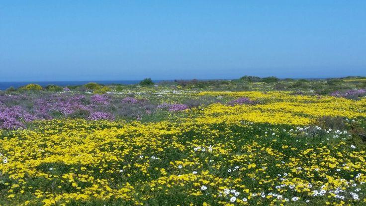 Wild Flowers near Saldanha Bay, South Africa